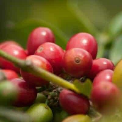 cà phê catimor