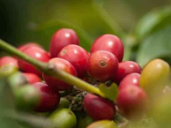 Cà phê Catimor là gì? Tìm hiểu về dòng cafe Catimor