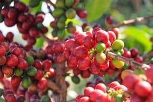 cà phê catimor là gì?