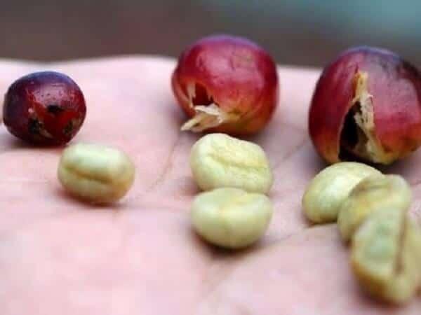Cà phê Culi là gì? Tìm hiểu đặc điểm cafe Culi – Peaberry