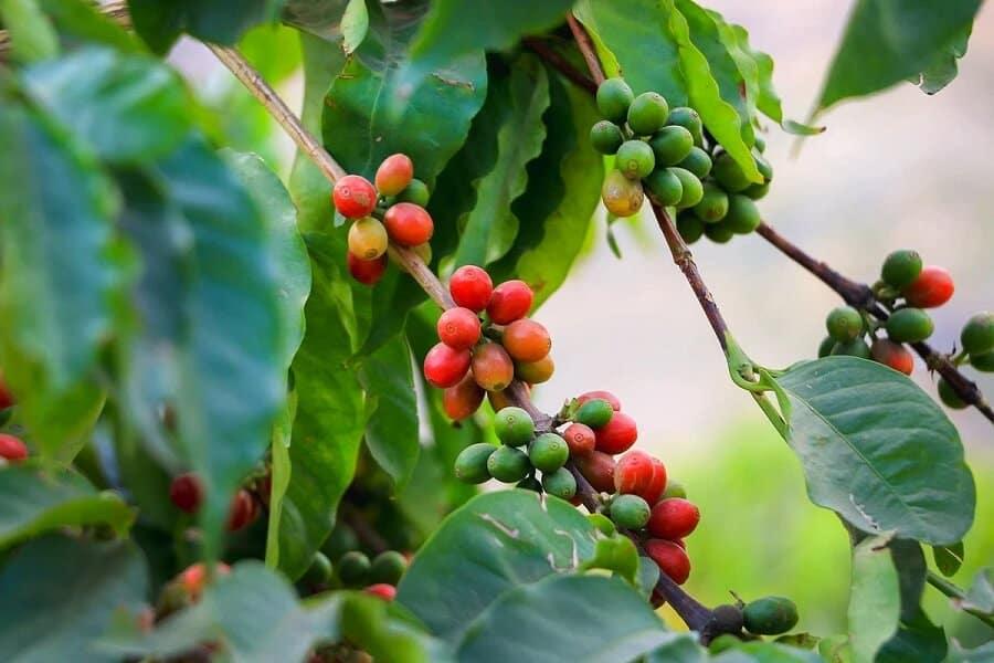 Cà phê Moka là gì – Tại sao gọi là Hoàng hậu cafe?