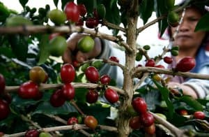 trồng cafe Moka Việt Nam