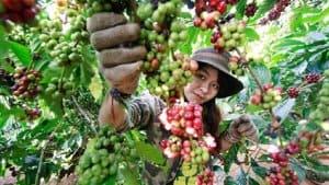 vùng trồng cà phê Việt Nam