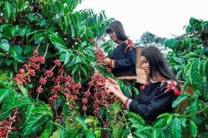 trồng cafe catimor