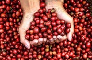 Hạt cà phê Typica