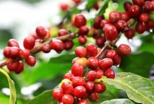 dòng cafe Arabica loại cà phê ngon