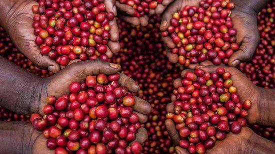 Giới thiệu đặc điểm, hương vị của dòng cafe Arabica