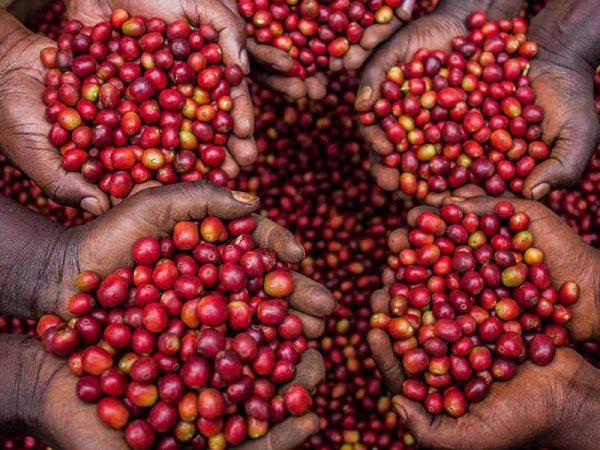 Cà phê Arabica – Dòng cafe ngon nhất thế giới