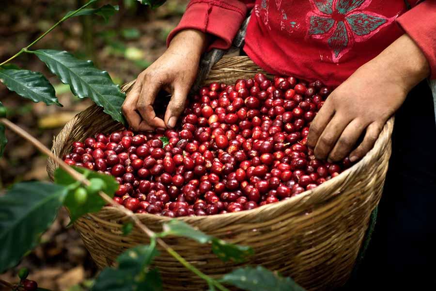 cây cà phê Arabica