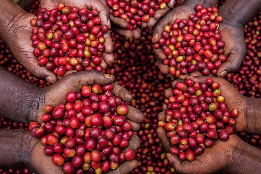 Cà phê Arabica – Nguồn gốc, đặc điểm, hương vị