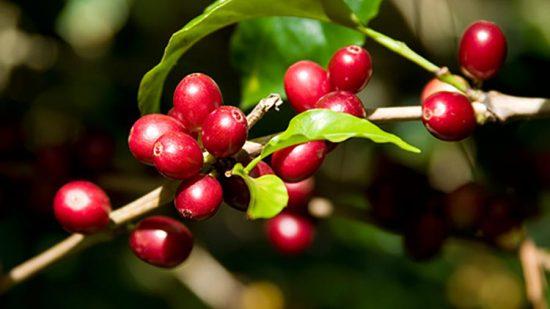 Tìm hiểu đặc điểm hương vị của dòng cafe Robusta