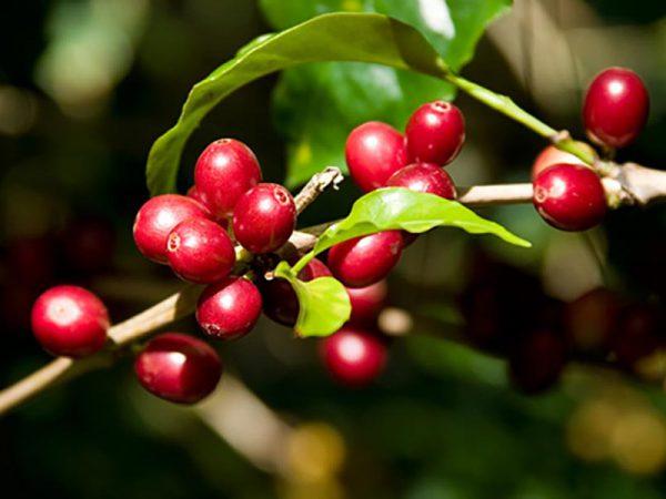Cà phê Robusta – Tại sao Robusta có vị đậm đà